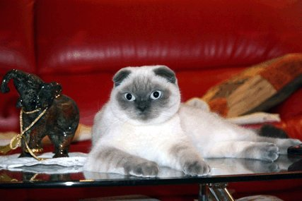 Scottish Fold cat with Siamese colour pointing