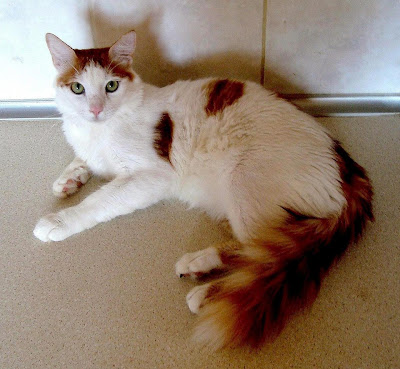 Cyprus Aphrodite Cat Breed