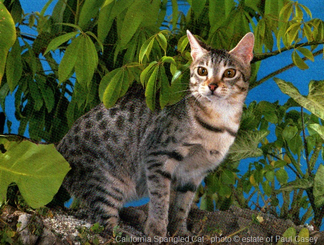 California Spangled Cat the world's most expensive cat