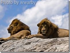 lions on rocks wwarby