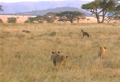 lions about to attack hyenas