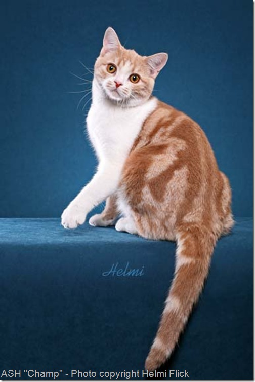 American Shorthair cat Champ beauty shot