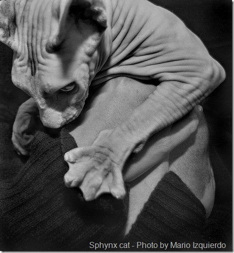 Sphynx cat showing webbed feet