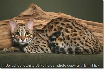 F1 Bengal cat Striker 1