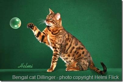 bengal cat Dillinger 1