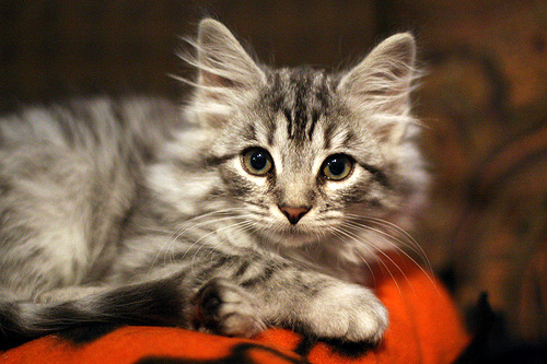 Siberian cat Stella border=