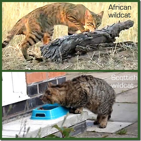 Comparison between African and Scottish wildcats