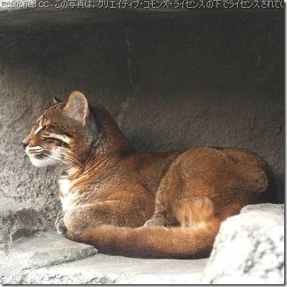 asiatic-golden-cat