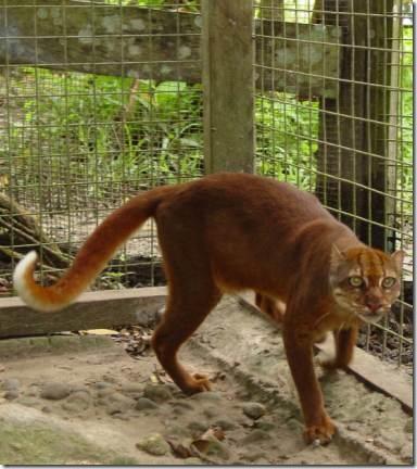 Bornean-Bay-Cat