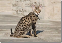 kathrin-stucki-photos-f2-savannah-cat-1
