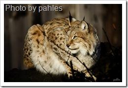 eurasian-lynx