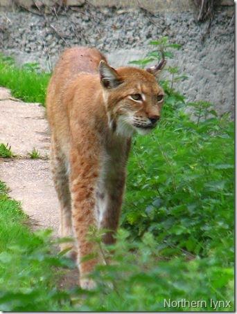northern-lynx