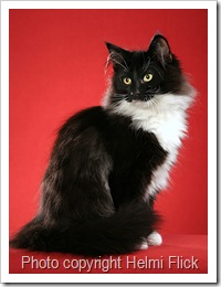 Norwegian Forest Cat Kjeltring