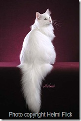 Norwegian Forest Cat - white cat