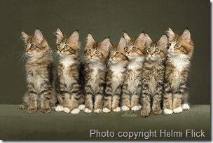 7 Maine Coon Kittens