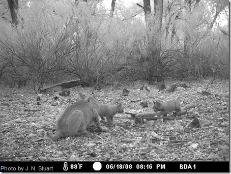bobcat kittens 1