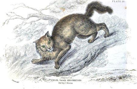 Angora cat 1834
