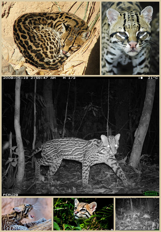 Ocelot collage of photos by Flickr photographers