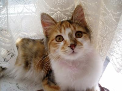 Cleopatra a Maine Coon Cat mix