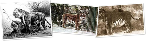 View Caspian tiger Wikipedia Commons