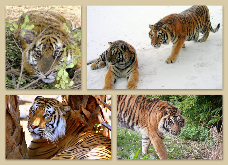 Tiger Collage