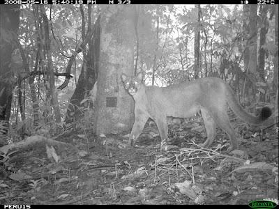 Puma is a top predator in the Amazon rainforest