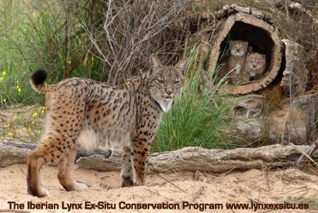 Iberian lynx with cubs in the wild