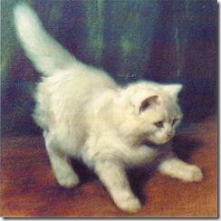 young angora cat