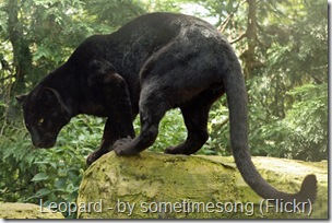 black panther black leopard