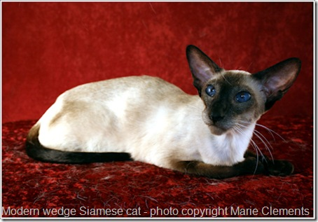 modern-wedge-Siamese-cat-1