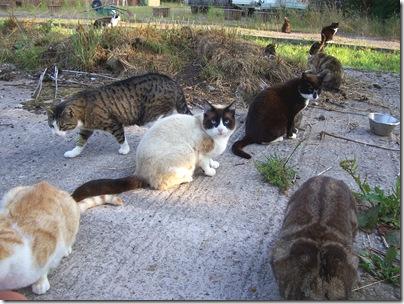 Snowshoe feral cat