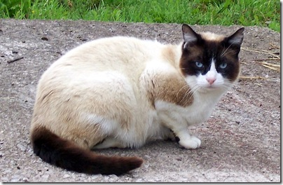 Lord Muck a feral cat looking like a purebred cat