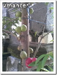buah mahkota dewa