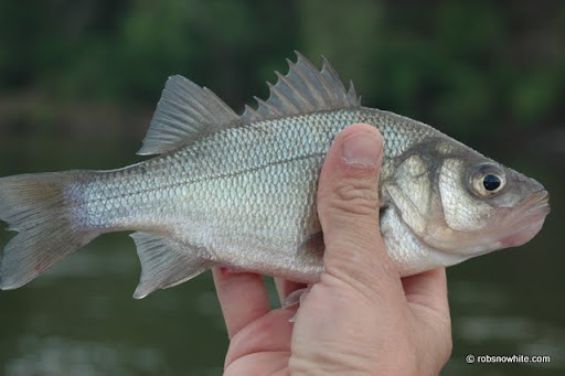 white perch, potomac