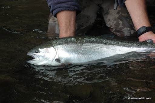 steelhead, salmon river, ny