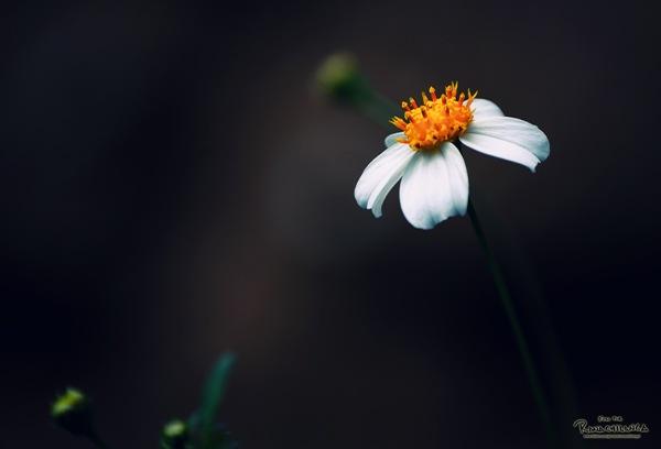wild flower cross processed