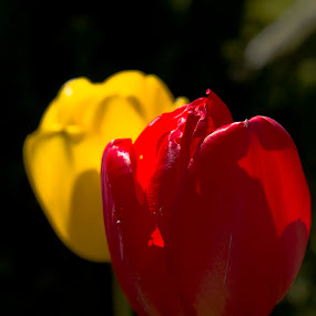 Red and Yellow by Ron Jnr - Flowers Flower Gardens ( black background, red, tulip, yellow, flowers )