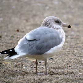 On the Lookout by Erika  Kiley - Novices Only Wildlife ( bird, gull, summer, ocean, beach )