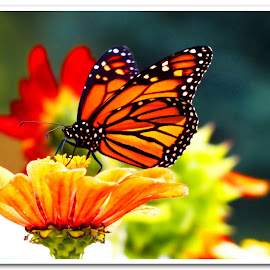 In all her glory by Jacquie G - Nature Up Close Other Natural Objects ( butterfly, macro, monarch, vivid )