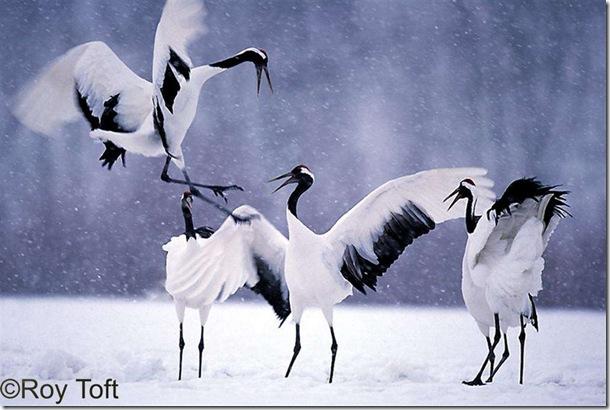 japanese_cranes