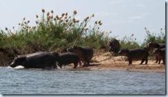 Hippos comp
