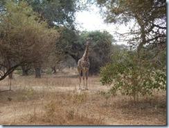 Eureka Farm Giraffe Comp