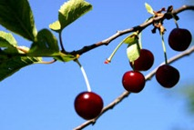 cherries on a tree 250x166