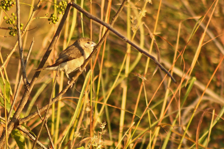 Juvenile Black-Headed Munia