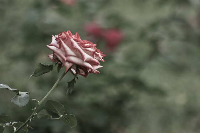 White-Red Rose