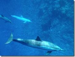 ハワイ島でイルカとマンタと泳ぐ