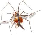 Crane fly (flattened)
