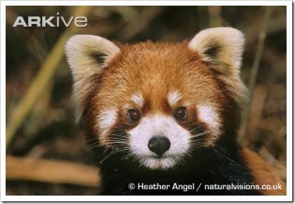 ARKive: Red Panda