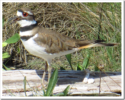 English Boom Historical Park: a killdeer