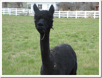 Freshly sheared alpaca in Douglas (click for larger image)